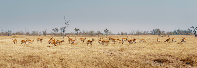 Door stickers Antelope Panorama - Gruppe Roter Letschwe Antilopen im Grasland des Moremi Nationalparks, Okavango Delta, Botswana