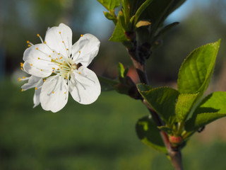 Flower and newly discovered cherry leaves