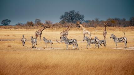 Eine Gruppe Zebras und Giraffen im Grasland des Moremi Nationalparks, Okavango Delta, Botswana