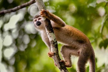 Squirrel Monkey hanging on tree