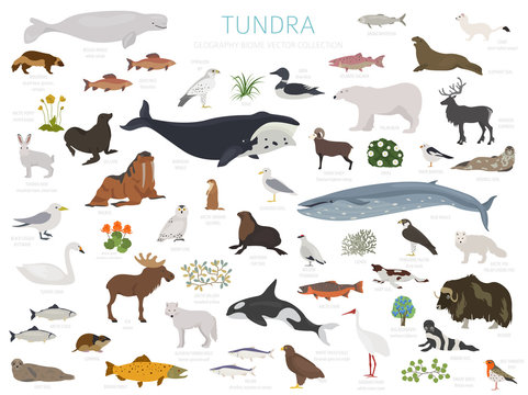 Tundra biome. Terrestrial ecosystem world map. Arctic animals, birds, fish and plants infographic design