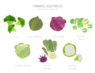Cabbage beneficial features graphic set. Gardening, farming infographic, how it grows. Flat style design