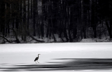 Grey heron walks on a partly frozen lake on the outskirts of Minsk
