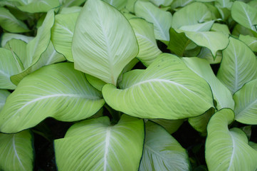 Dieffenbachia green plant background