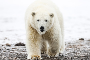 In de dag Ijsbeer Polar bear, northern arctic predator