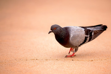 Um pombo nas areias da praia