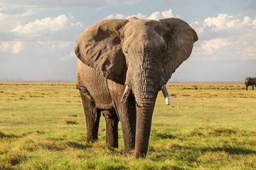 Majestic African bush elephant (Loxodonta africana) on green grass flat savanna looking into camera.