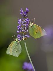 Papillons jaunes Citron de Provence entrain de butiner une fleur de lavande au printemps.