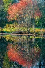 Herbstliche Spiegelung von Herbstbäumen auf der Wasseroberfläche eines Sees