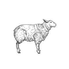Sheep Hand Drawn Vector Illustration. Abstract Domestic Animal Sketch. Lamb Engraving Style Drawing.