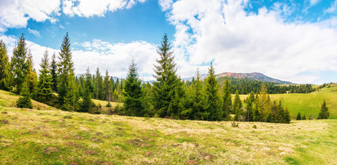 panorama of beautiful countryside in mountains. spruce trees on the meadow. top of the snow covered ridge in the distance. wonderful nature scenery