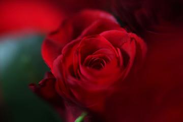 Red rose bud, close-up, blur