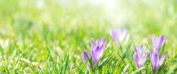 Deurstickers Krokussen Banner oder Hintergrund mit Textfreiraum für Frühling, Ostern