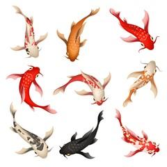 Koi fish. Nishikigoi or brocaded carp set, swimming asian japanese colored fishes isolated on background