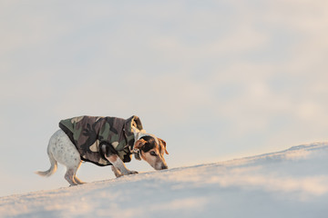 Little cute handsome Jack Russell Terrier dog with protective clothing in nature be on the move in front of atmospheric cloudy sky