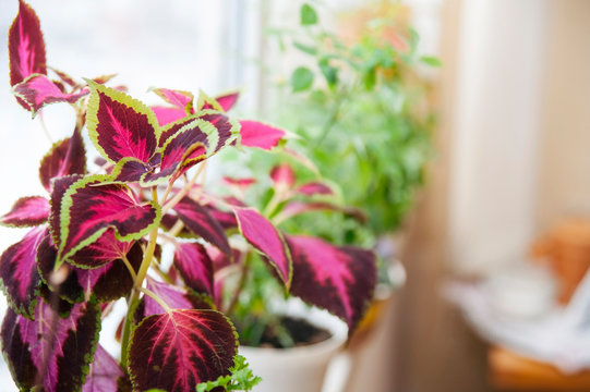 Beautiful flower Coleus with leaves of green, pink, purple colours