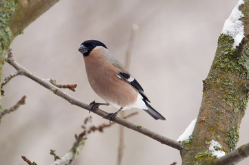 Eurasian bullfinch sits on a branch of a wild apple tree in the winter forest park on a cloudy day.