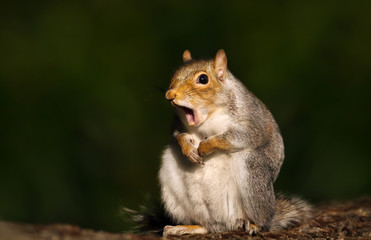 Fotobehang Eekhoorn Close up of a grey squirrel yawning