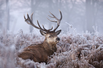 Foto op Plexiglas Hert Close-up of a red deer stag in winter