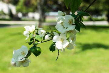 blooming apple tree in spring