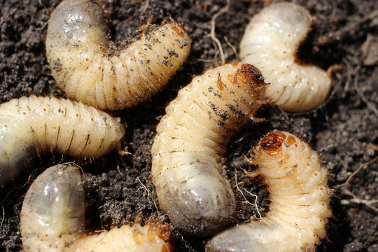 Larvae of beetles are pests of many agrarian cultures.