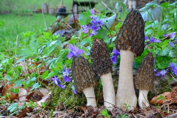 Fototapeta Four Black Morel mushrooms growing among spring Violets obraz