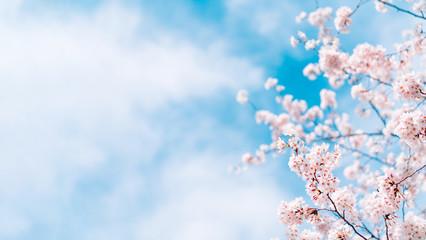 Foto op Plexiglas Kersenbloesem 桜