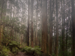 Misty Day in The Rainforest Near Melbourne