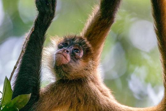 Geoffroy's spider monkey (Ateles geoffroyi),