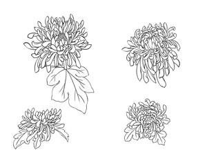 Illustration of chrysanthemum flowers, black and white.
