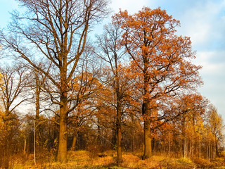 Oak grove illuminated by the setting sun against a blue sky. Autumn time, oaks losing foliage
