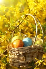 Spring holiday.Easter eggs in a  basket on a branch of a blooming yellow bush in the rays of the bright sun.Spring Easter festive background.