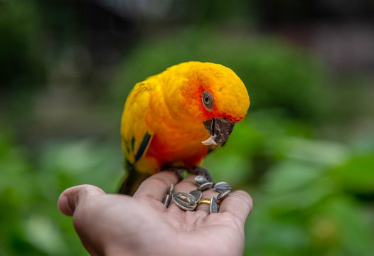 Sun conure parrot on hand