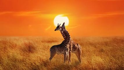Wall Mural - Giraffes in the Serengeti National Park.  Africa. Tanzania. Sunset background.