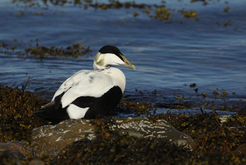 A male Eider (Somateria mollissima) standing on seaweed at the edge of the sea.