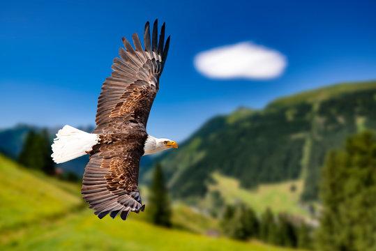 Ein Weißkopfseeadler fliegen in großer Höhe am Himmel und suchen Beute. Es sind Wolken am Himmel aber es herrscht klare Sicht bei strahlender Sonne.
