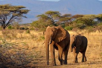 Elefanten in freier Wildbahn in Afrika