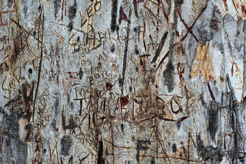 Cut Carved Graffiti On The Bark Of A Blue Gum Tree