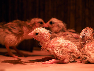 Newborn chickens in infrared light. Brood for rearing chickens