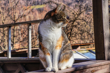 A colorful domestic cat is named Liza sitting on parapet in pergola on the garden in sun day, watching some birds.