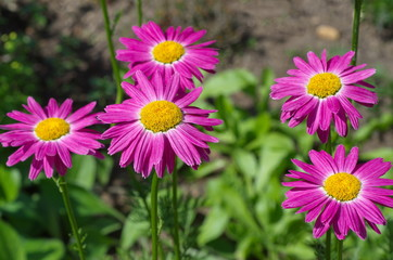 Pyrethrum pink (lat. Pyrethrum roseum), or Persian daisies bloom in the garden on a summer day