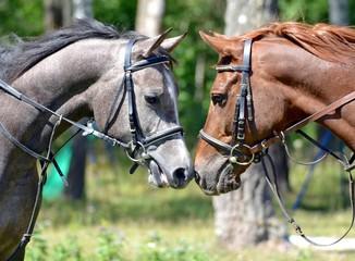 Portrait of two Arab horses