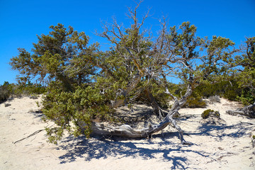 Juniper on the desert island of Chrissi, protected area, Greece