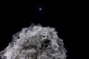 わに塚の夜桜