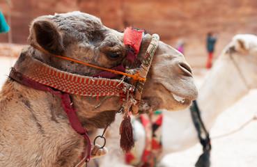 Camel in Petra - Wadi Musa city in Jordan