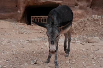Donkey in Petra - Wadi Musa city in Jordan