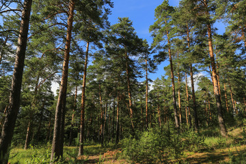 Summer pine forest with blue sky in sunny day landscape