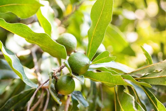 Macadamia nut tree growing in organic field