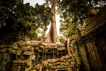 Giant tree in Ta Prohm temple.