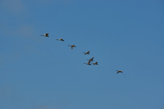 Flock of geese in iceland